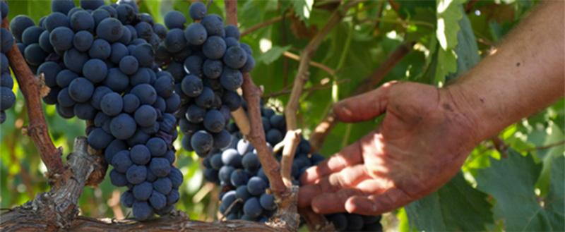 Negroamaro Grapes